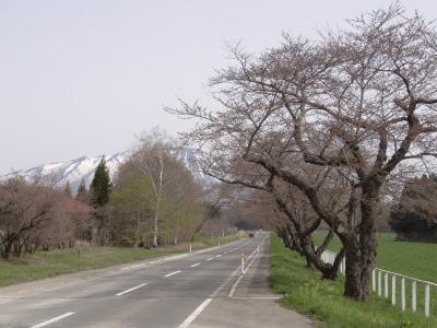 県道桜並木(2012.4.29)