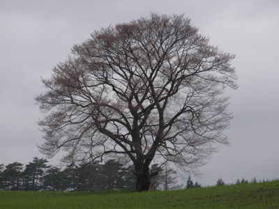 小岩井農場の一本桜(2012.5.1)