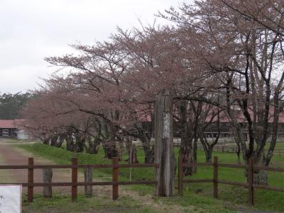 上丸牛舎桜並木(2012.5.1)