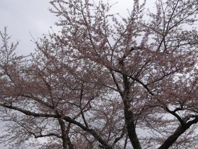県道桜並木(2012.5.1)