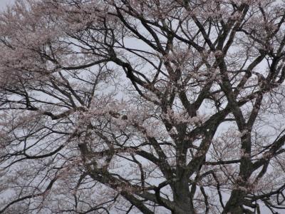 小岩井農場の一本桜(2012.5.3)