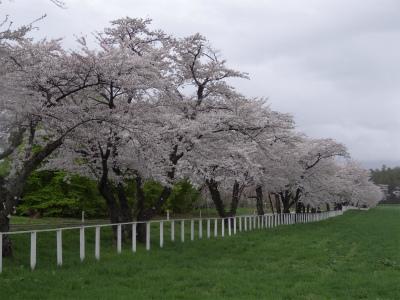 県道桜並木(2012.5.3)