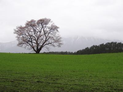 小岩井農場の一本桜(2012.5.3)-2