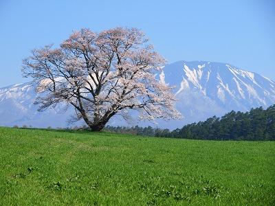 「小岩井農場 一本桜」の画像検索結果