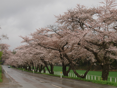 県道桜並木(2012.5.2)