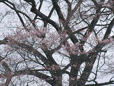 小岩井農場の一本桜(2012.5.2)-2