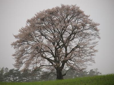 小岩井農場の一本桜(2012.5.4)