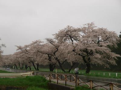 県道桜並木(2012.5.4)
