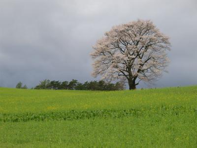 小岩井農場の一本桜(2012.5.5)