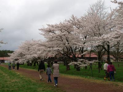 上丸牛舎桜並木(2012.5.5)