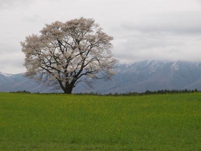 小岩井農場の一本桜(2012.5.6)