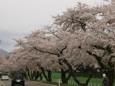 県道桜並木(2012.5.6)