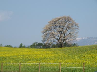 小岩井農場の一本桜(2012.5.9)