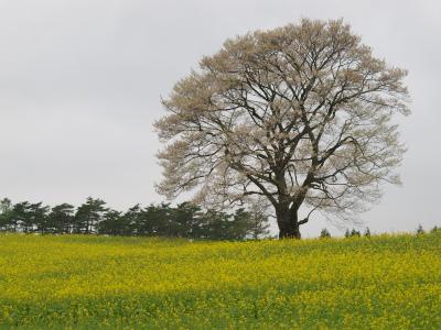 小岩井農場の一本桜(2012.5.10)
