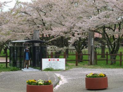 上丸牛舎桜並木(2012.5.10)