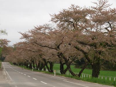 県道桜並木(2012.5.10)
