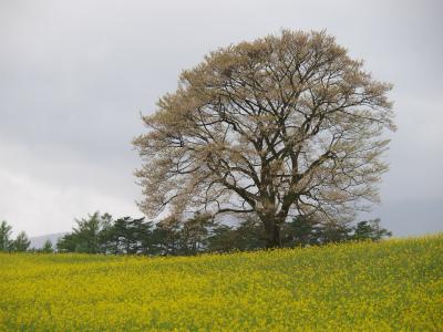 小岩井農場の一本桜(2012.5.11)