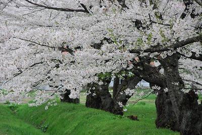 上丸桜並木