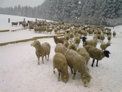 羊たち、冬ごもり中。