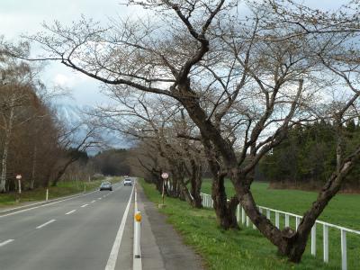 中丸桜並木(2011.4.29)