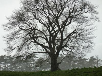 小岩井農場の一本桜(2011.4.29)