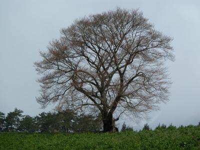 小岩井農場の一本桜(2011.5.2)