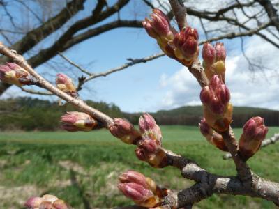 小岩井農場の一本桜(2011.5.2)つぼみ