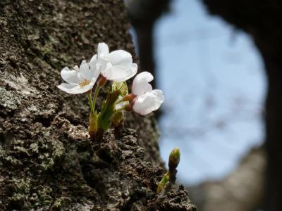 中丸桜並木(2011.5.3朝)幹から直接のびた花は開いた
