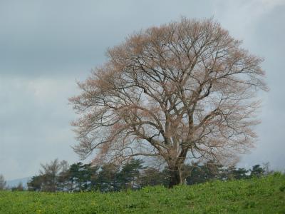 小岩井農場の一本桜(2011.5.4朝)