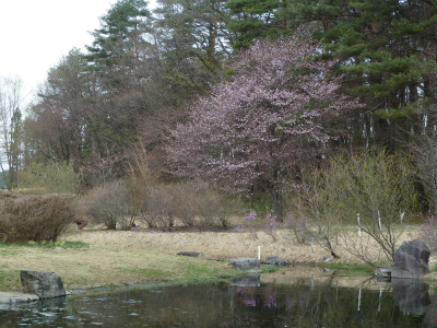 かわず池のヤマザクラ