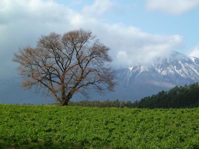 小岩井農場の一本桜(2011.5.4午後)