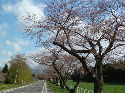 中丸桜並木(2011.5.5朝)開花