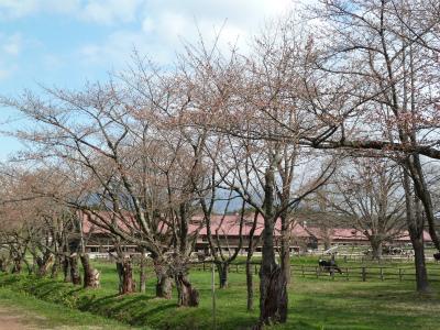 上丸牛舎桜並木(2011.5.5朝)開花