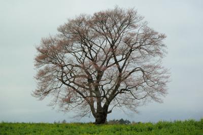 小岩井農場の一本桜(2011.5.6朝)つぼみ