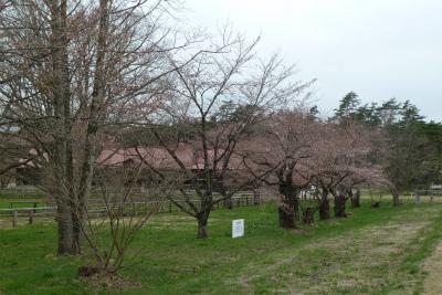 上丸牛舎桜並木(2011.5.6朝)一分咲き