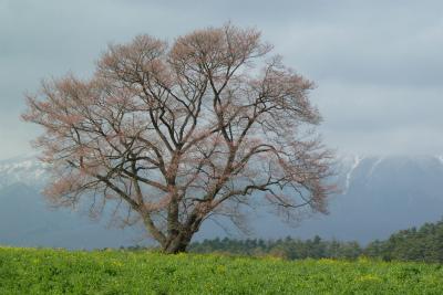 小岩井農場の一本桜(2011.5.6午後)つぼみ