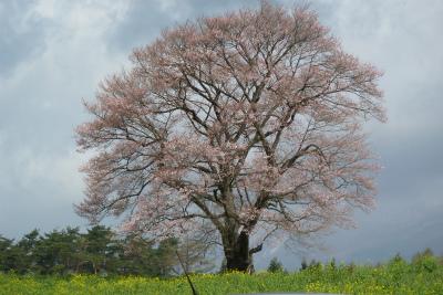 小岩井農場の一本桜(2011.5.8)三分咲き