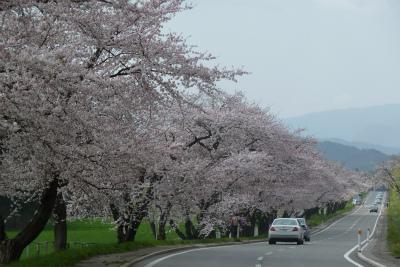 中丸桜並木(2011.5.8)満開