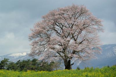 小岩井農場の一本桜(2011.5.9朝)満開