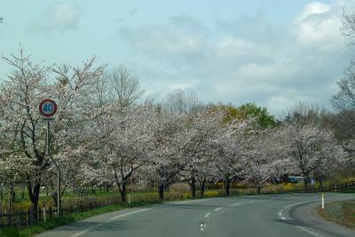県道桜並木(2011.5.9朝)満開