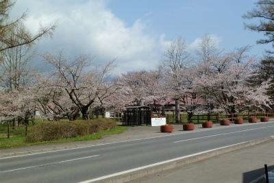 上丸牛舎桜並木(2011.5.9朝)満開