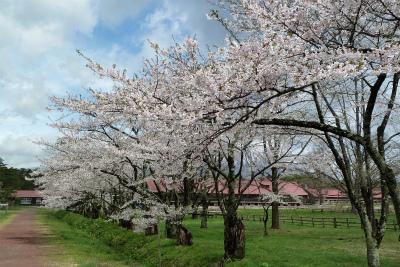 上丸牛舎桜並木(2011.5.10朝)満開