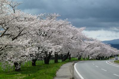 県道桜並木(2011.5.10朝)満開