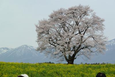 小岩井農場の一本桜(2011.5.11朝)満開
