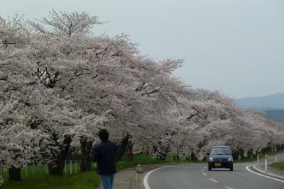 県道桜並木(2011.5.11朝)満開