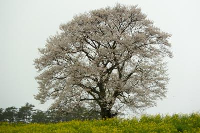 小岩井農場の一本桜(2011.5.13朝)満開