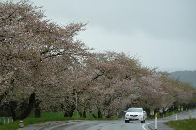 県道桜並木(2011.5.13朝)葉桜