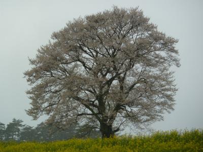小岩井農場の一本桜(2011.5.14朝)満開