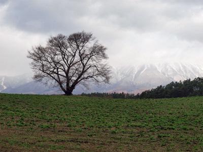 小岩井農場の一本桜(2011.4.24)