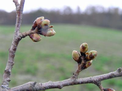 小岩井農場の一本桜(2011.4.24)つぼみ